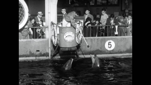 trained dolphins touch their snout to a ball; 1964 - animal nose stock videos & royalty-free footage