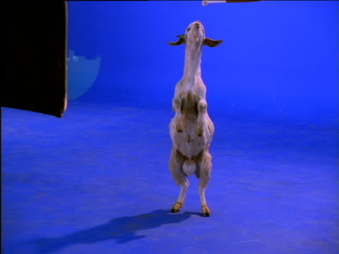 Trained goat stands on its hind legs