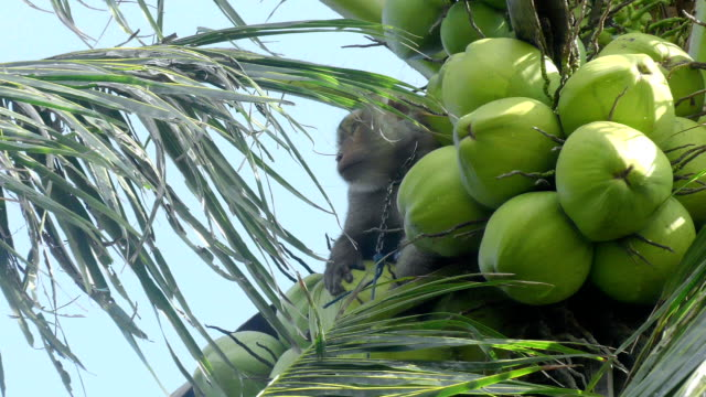 A trained monkey for breaking coconuts