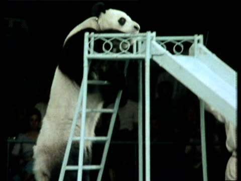 trained panda climbs steps and descends slide at ringmasters bidding in circus performance - 1978 stock videos and b-roll footage