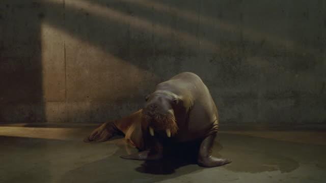 a trainer rewards a walrus for performing tricks. - geöffneter mund stock-videos und b-roll-filmmaterial