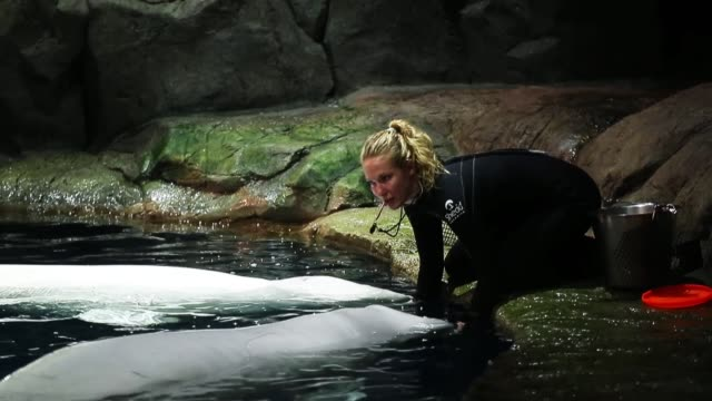trainers work with beluga wales at the john g shedd aquarium on october 3 2014 in chicago illinois shedd aquarium houses 32000 animals and attracts... - shedd aquarium stock videos and b-roll footage