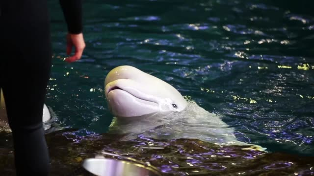 trainers work with beluga wales at the john g shedd aquarium on october 3 2014 in chicago illinois shedd aquarium houses 32000 animals and attracts... - animale in cattività video stock e b–roll