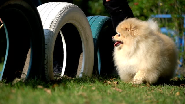 training dog agility by walking through a tire in summer - off leash dog park stock videos & royalty-free footage