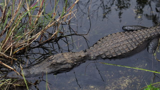 tranquil alligator in the wetlands of the everglades national park. - american alligator stock videos & royalty-free footage