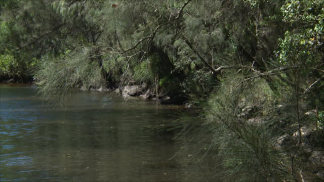 tranquil creek setting with sheoak trees on bank and overhanging water / strand of rusty barbed wire fence runs between tree and rusty star picket in...