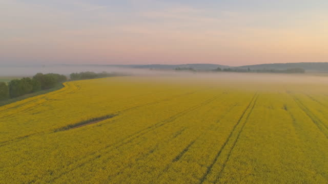 ws tranquil fog over idyllic,yellow rapeseed oil field,slovenia - rapeseed oil stock videos and b-roll footage