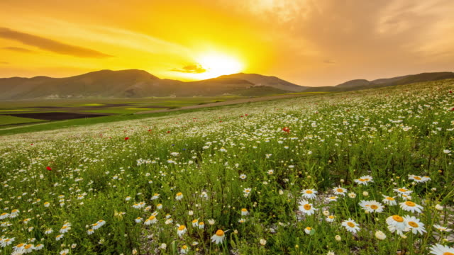 ws motion control time lapse tranquil mountain and daisy meadow landscape at sunset, castelluccio, umbria, italy - margherita video stock e b–roll