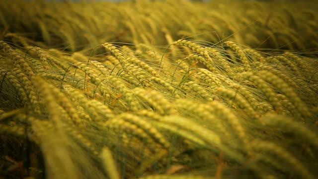HD DOLLY: Ruhige Szene In Wheat Field