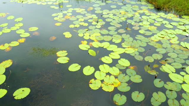 Tranquil Scene of Lotus Leaves in Lake