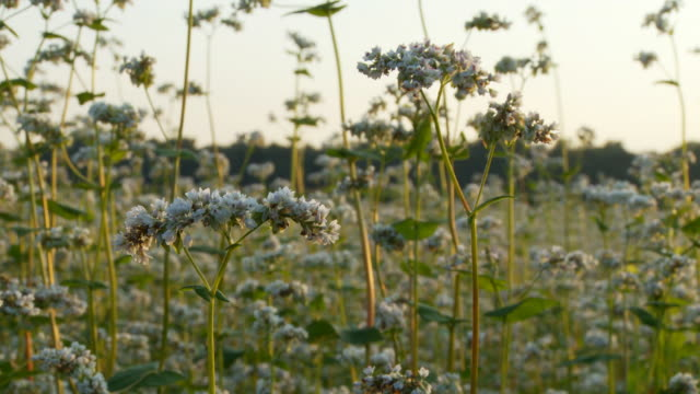 hd dolly: tranquil scene with buckwheat flowers - buckwheat stock videos & royalty-free footage