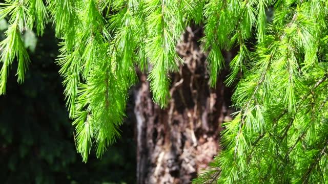 tranquil sunny park - cedar stock videos & royalty-free footage