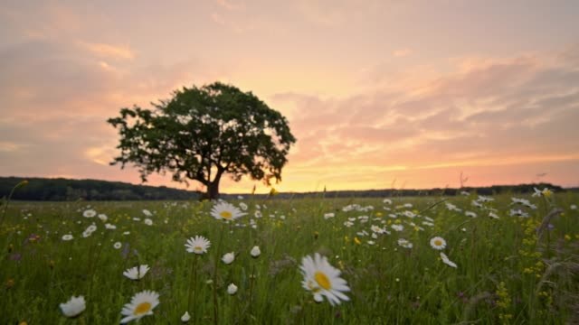 ms tranquil,idyllic tree and daisies blowing in rural meadow breeze,slovenia - single tree stock videos & royalty-free footage