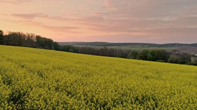 ws tranquil,idyllic yellow canola crop in rural landscape,prekmurje,slovenia - oilseed rape stock videos & royalty-free footage
