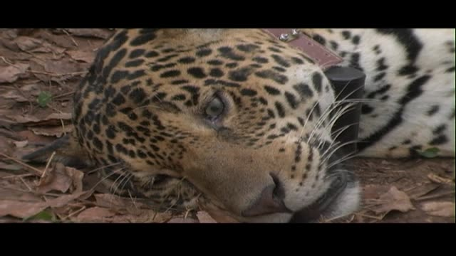 a tranquilized jaguar lies on the floor of the rainforest. - tranquillising stock videos & royalty-free footage