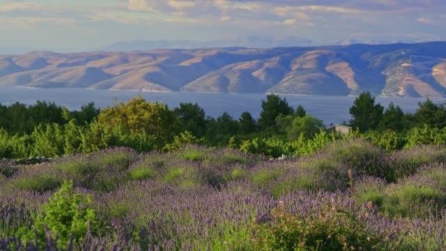 WS Tranquil,scenic view lavender on sunny island,Hvar,Croatia