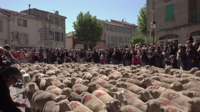 vidéos et rushes de transhumance with 3000 sheep's in st. rémy - mouton