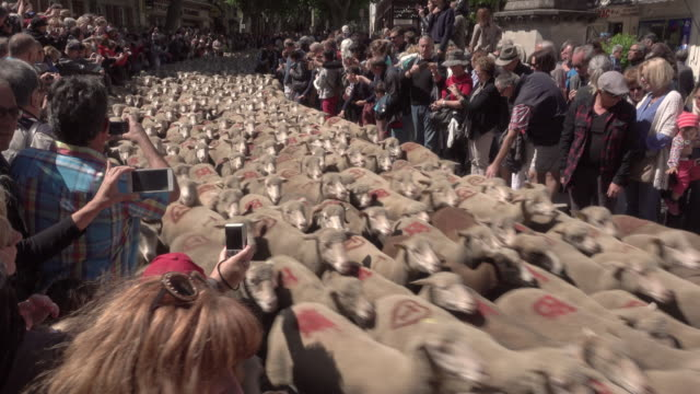 Transhumance with 3000 Sheep's in St. Rémy