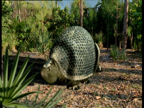 transition from underwater skeleton of extinct glyptodon to living animal in forest, florida - living organism stock videos & royalty-free footage