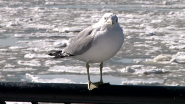 transition shot of a bird perched on a railing as heavy ice flows on the hudson river during an outbreak of record cold temperatures in nyc no - perching stock videos & royalty-free footage