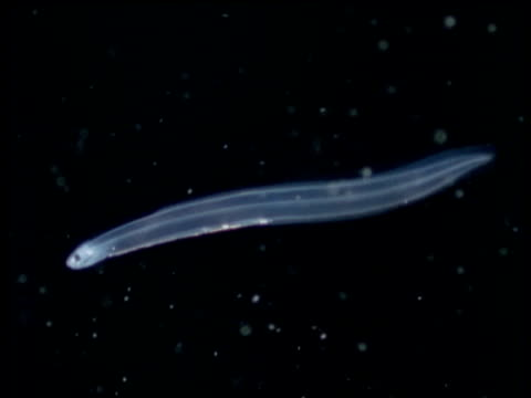 translucent glass eel swims left through black water, pacific ocean - translucent stock videos & royalty-free footage
