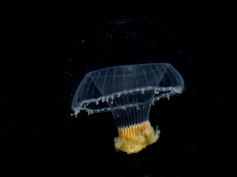 translucent jellyfish drifts down, gulf of mexico - translucent stock videos & royalty-free footage