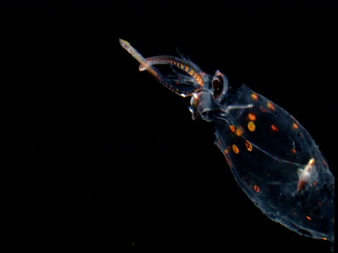 Translucent squid swims backwards, Gulf of Mexico