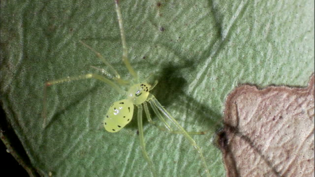 a translucent wolf spider rests on a leaf. - translucent stock videos & royalty-free footage