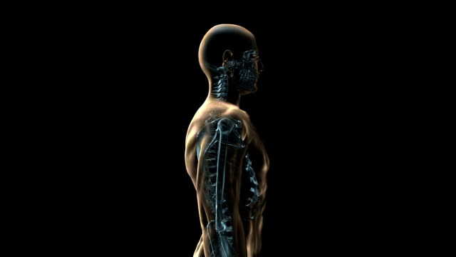 a transparent blue rotating x-ray skeleton and body on a black screen. - biomedical illustration stock videos & royalty-free footage