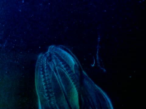 a transparent comb jelly propels itself up through dark water. - struttura cellulare video stock e b–roll