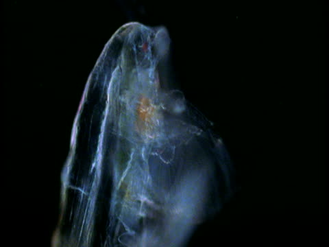 a transparent copepod waves its legs. - gliedmaßen körperteile stock-videos und b-roll-filmmaterial