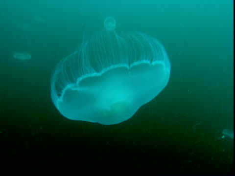 A transparent moon jellyfish moves its tentacles as it swims down green water.