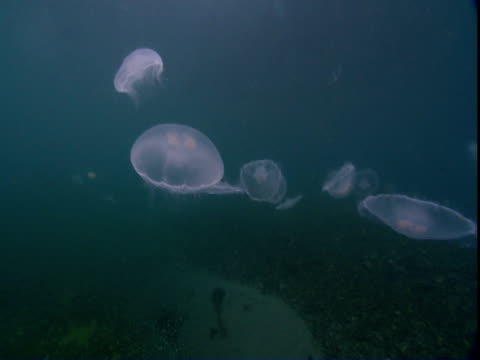 vídeos de stock e filmes b-roll de transparent moon jellyfish pulse and drift through alaskan waters. - translúcido