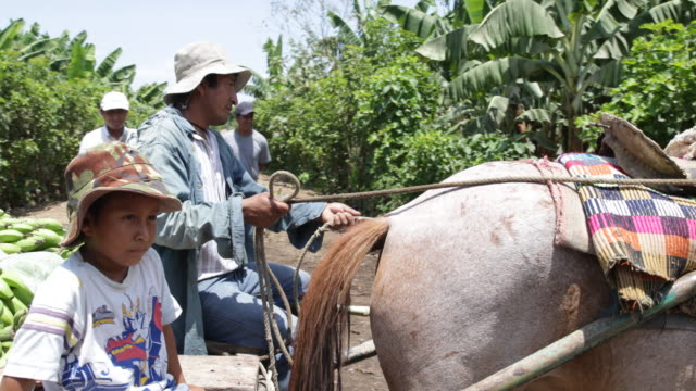vidéos et rushes de transporting the picked banana punches from the plantation with horse carts - animaux au travail