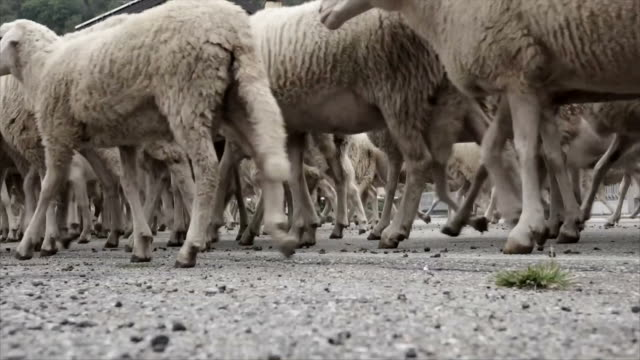 Transumanza passing sheep and goats legs