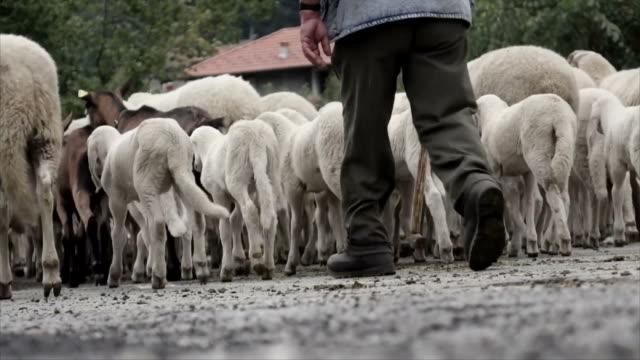 vídeos y material grabado en eventos de stock de transumanza pasando ovejas y cabras con pastor - perro pastor