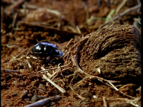 cu trapdoor spider catching beetle - ambush stock videos and b-roll footage