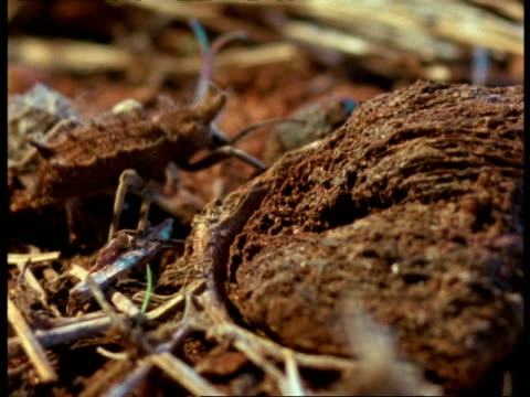 vídeos de stock e filmes b-roll de cu trapdoor spider unsuccessfully trying to catch passing beetle, africa - comportamento animal