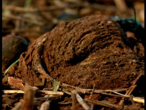 vídeos y material grabado en eventos de stock de cu trapdoor spider unsuccessfully trying to catch passing beetle, africa - escarabajo de cuerno largo