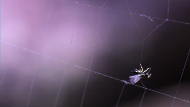 trapped fly (diptera) struggles on spider web, yellowstone, usa - fly stock videos and b-roll footage