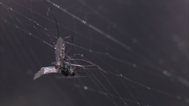 trapped mosquito (culicidae) struggles on spider web, yellowstone, usa - fly stock videos and b-roll footage
