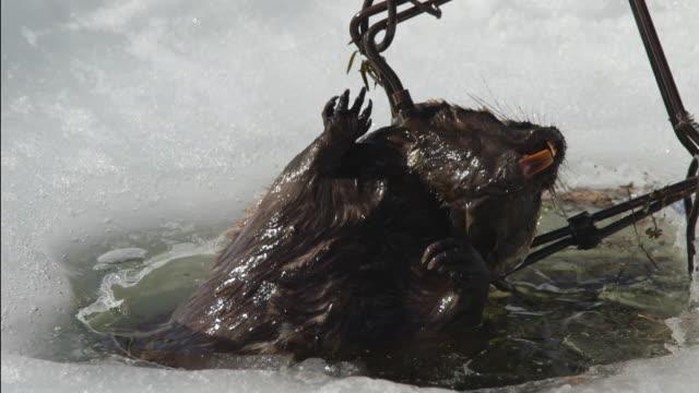 Trapper pulls dead beaver caught in trap