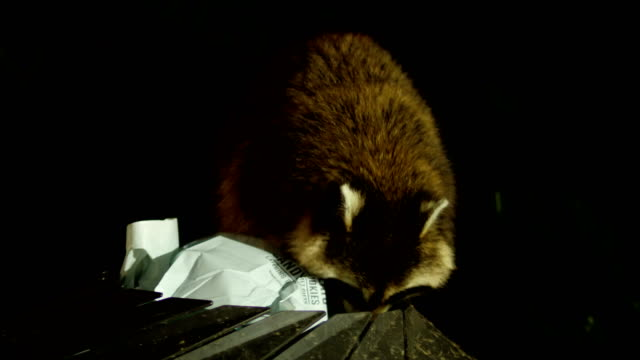 Trash eating raccoon