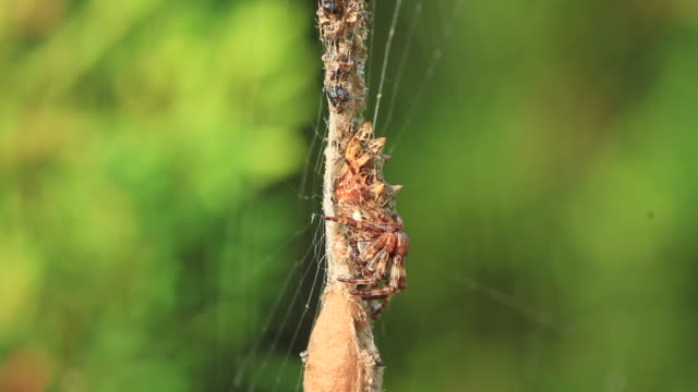 trashline orbweaver (cyclosa) - arachnophobia stock videos & royalty-free footage