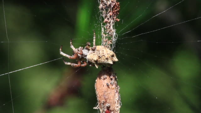 trashline orbweaver (cyclosa) waiting for prey - arachnophobia stock videos & royalty-free footage