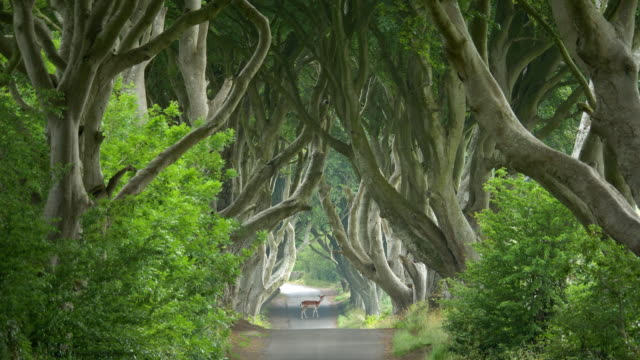 travel cinemagraphs, dark hedges with roe deer on the road - 北アイルランド点の映像素材/bロール