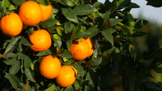 travel curved shot, sunlight on ripe oranges - ascorbic acid stock videos & royalty-free footage
