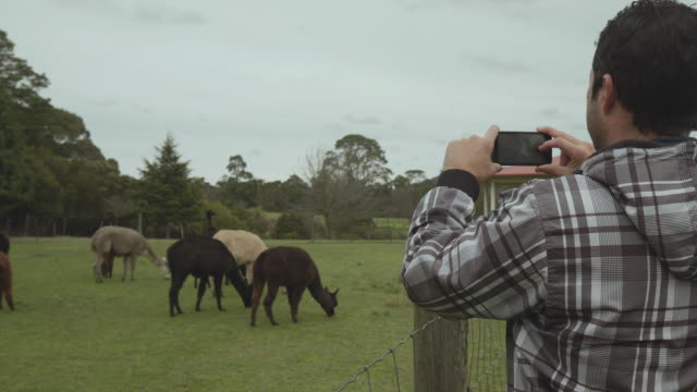 Travel Like a Local - Brief - young guy taking photos of llamas (animal) in the Yarra Valley, Melbourne, Victoria