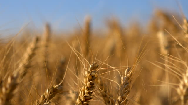 travel shot, field of golden durum wheat ears - weizen stock-videos und b-roll-filmmaterial