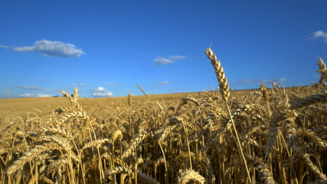 travel shot, field of golden wheat against white clouds in blue sky - ear of wheat stock videos and b-roll footage